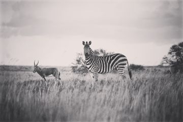 zebra nature blackandwhite cute