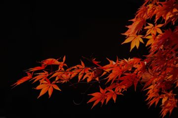 japan nature photography maple mapleleaf freetoedit